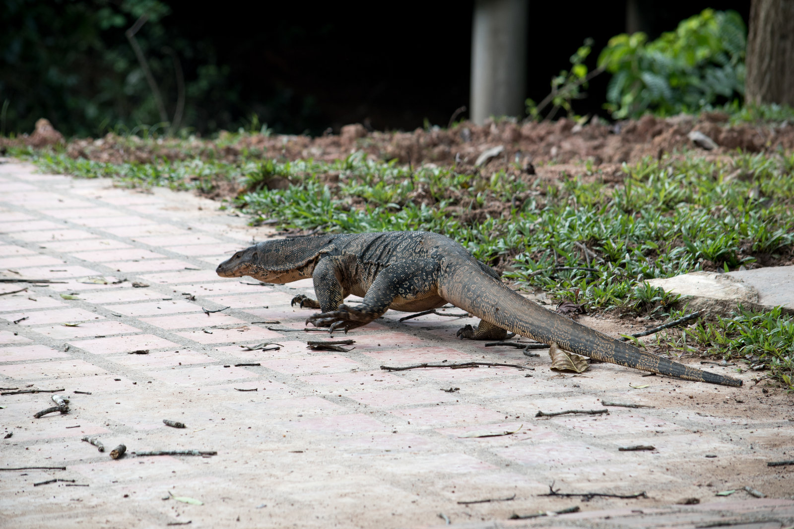 Monitor Lizard in Kao Yai November 2016